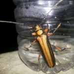 Samber Lilin Kuning Serangga Khas Indonesia Buat Susuk